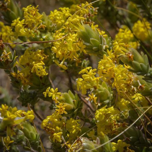 Gnidia polyantha