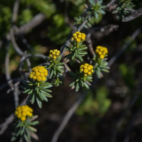 Helichrysum witbergense